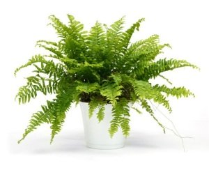 Fern Photo Source: http://www.guide-to-houseplants.com/boston-fern.html