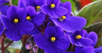 African Violets Photo Source: http://bloomiq.com/indoorplantstips/african-violets