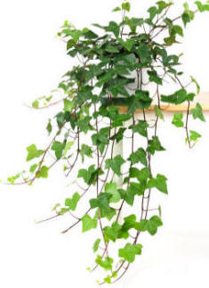 Ivy Photo Source: http://www.gardenseeker.com/indoor-plants/ivy_hedera_as_houseplant.htm
