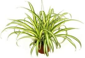 Spider Plant Photo Source: http://www.houseplantsforyou.com/spider-plant/